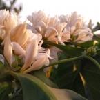 Florada do Café - Sao Pedro da Uniao MG - Fernando Barbosa (18)