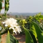Florada do Café - Sao Pedro da Uniao MG - Fernando Barbosa (8)