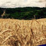 Foto 04 - Colheita de trigo na reta final em Lagoa Vermelha (RS). Enviado pelo Engenheiro Agrônomo Carlos Dellavalle Filho