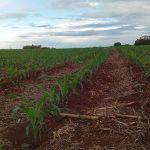 Plantação de milho na região de Guaíra (PR). Foto do produtor rural, Airton José Groff