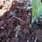 Aplicação de nitrogênio no milho na região de Laguna Carapã (MS). Foto do técnico agrícola da Bio Rural, Antônio Rodrigues Neto