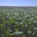 Imagem de lavoura de milho em Uberaba (MG). Foto do produtor rural, Ezio Seabra