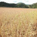 Início da colheita de soja em Bonito (MS), do produtor Luiz Carlos Brandão