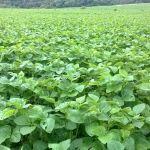 Lavoura de safrinha de soja em Tuparendi (RS), da Agropecuária Molinari