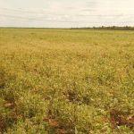 Lavouras de soja na região de Uruçuí (PI). Foto enviada por Altair Fianco