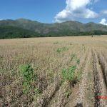 Lavoura de soja na região de São João Batista do Glória (MG). Envio de Carlos Cardoso