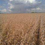 Colheita de soja em Cruzália (SP), envio de Ricardo