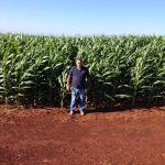 Lavoura de milho safrinha em Juranda (PR), do produtor rural Valter Martins Stanger