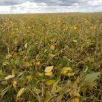 Germinação na vagem de soja devido ao excesso de chuvas, em Salto Grande (SP). Imagem do produtor rural, Walmir Modotti