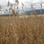 Lavoura de soja em Restinga Seca (RS), envio do Técnico em Agropecuária Adriano Grigoletto