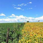Foto 09 - Lavoura de soja em Vicentinópolis (GO). Enviado por Leonardo Vale