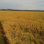 Lavoura de arroz em Colider (MT), na Fazenda Santa Inês, do produtor Fernando Konkol e família