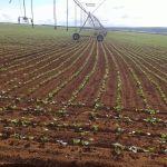 Feijão irrigado em Paracatu (MG), do produtor Sebastião Condé