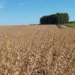 Colheita de soja em São Vicente do Sul (RS), da Agropecuária 3M