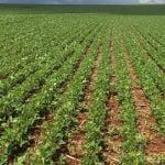 Lavoura de soja em Juranda (PR). Envio de Adriano Martins