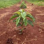 Lavoura de café plantada em dezembro na região de Alterosa do Sul (MG). Imagem do engenheiro agrônomo, Lucas Souza