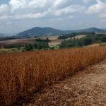 Lavoura de Soja em Teutônia (RS), envio do Engenheiro Agrícola João Dresch, da Cooperativa Languiru