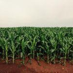 Lavoura de milho em Santana do Araguaia (PA). Envio de Lucas Vinicius