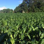 Lavoura de milho em Juranda (PR), do proprietário Anderson de Andrade