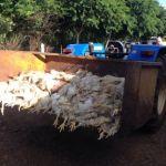 Greve PR - Cerca de 1,5 mil frangos morreram por causa da falta de ração em granja de Jataizinho (Foto: Alberto DAngele/RPC)