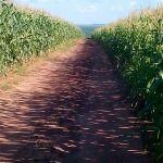 Plantação de milho safrinha em Terra Roxa (PR). do produtor rural Marcos Antonio Varolo