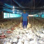 Greve PR - Frangos mortos são retirados de dentro da granja (Foto: Alberto DAngele/RPC)