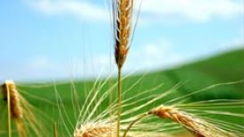 Trigo/Cepea: Com perdas nas lavouras decorrentes do frio, vendedor segue afastado do mercado