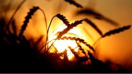Novo zoneamento agrícola do trigo será apresentada em reunião de pesquisa