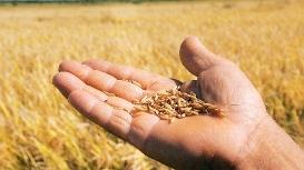 Safra de trigo em SC deve atingir 290 mil toneladas na próxima colheita