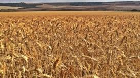 Trigo/Cepea: Com preocupação com o clima, preços seguem em alta