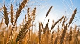 USDA: Vendas semanais de trigo 21/22 dos EUA avançam para 515,20 mil t