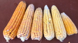 Cotação do milho segue sustentada na cautela com o frio e sobe no Brasil nesta 3ªfeira