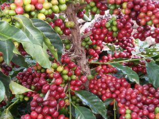 Imagem do Dia - Lavoura de café em Manhuaçu (MG), envio de Guilherme