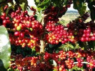 Imagens do dia - Lavoura de café em Poço Fundo (MG). Enviada pelo produtor Edilberto de Oliveira