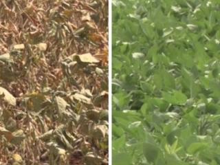 destaque de video - comparativo de soja em má e boa condição - condicionadores de solo fertilaqua