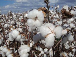 Imagem do dia - Lavoura de algodão em Chapadão do Céu (GO)