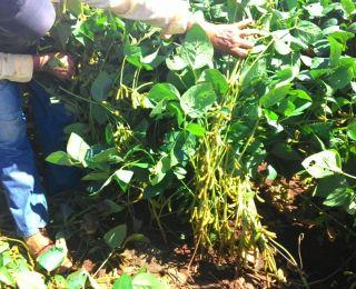 Lavoura de soja na Fazenda Ferreirinha em Igarapava (SP)
