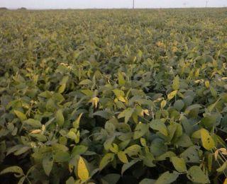 Lavoura de soja em Japurá (PR), do produtor Romualdo Pietrowski. Enviado pelo Engenheiro Agrônomo Paulo Pietrowski