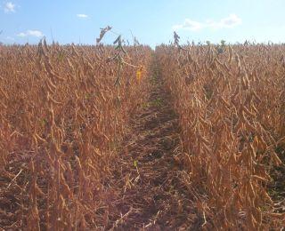 Colheita de soja em Capinzal (SC)