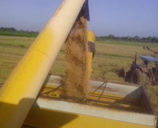 Colheita de arroz em Jaguaruana (CE)