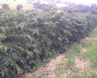 Lavoura de café em Candeias (MG), com expectativa de produção de  90 sacas por hectare