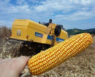 Colheita de milho em Frederico Westphalen (RS). Enviado pelo Engenheiro Agrônomo Eduardo Zanatta