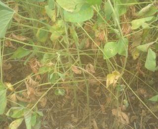 Lavoura de soja sentindo os efeitos da falta de chuvas em Ajuricaba (RS). Enviada por Vanderlei Silva