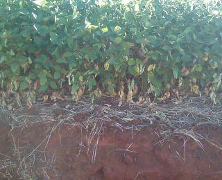 Danos na lavoura de soja, provocados pela estiagem em Saldanha Marinho (RS). Enviado pelo Técnico Agrícola Daniel Ledur
