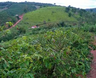 Estragos nos cafezais causados por bicho mineiro em Raul Soares (MG), do produtor Tomires Vasconcelos