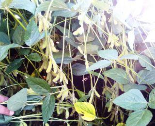 Lavoura de soja em Leópolis (PR), na Fazenda Santa Alice