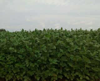 Lavoura de soja em Cerejeiras (RO), da Família Demarco