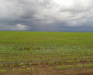 Lavoura de soja em Monte Alegre (PI), após quase de 500 mm de chuvas em janeiro