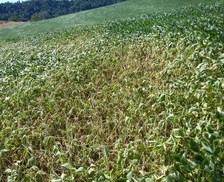 Lavoura de soja em Frederico Westphalen (RS), há 17 dias sem chuvas. Enviado pelo Engenheiro Agrônomo Eduardo Zanatta