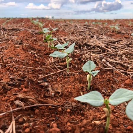 O começo de uma grande lavoura de feijão na Fazenda Santo Antônio em Tabaporã (MT) - Solon Jr